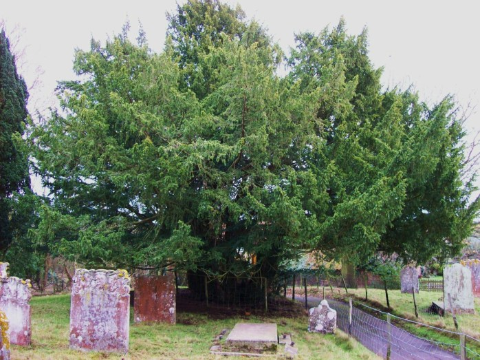 Ancient yew tree in the churchyard of St Thomas a Becket, Kent (image from Wikimedia Commons)