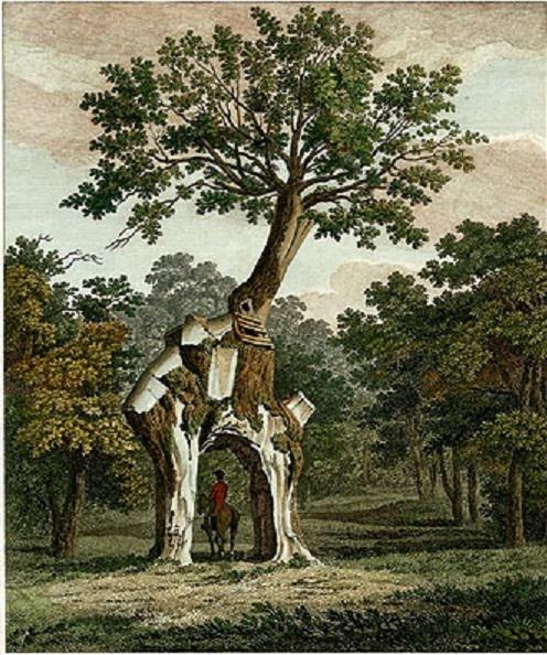 Illustration of the Greendale Oak from a 19th Century edition of John Evelyn's Sylva