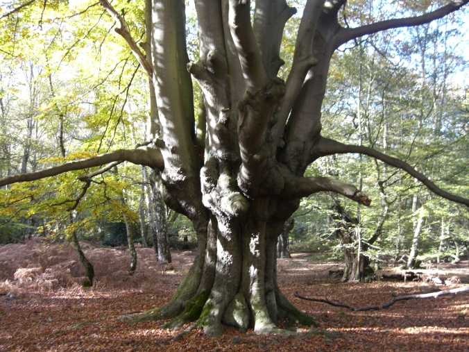 A pollarded tree in Epping Forest, Essex (image from Wikimedia Commons)