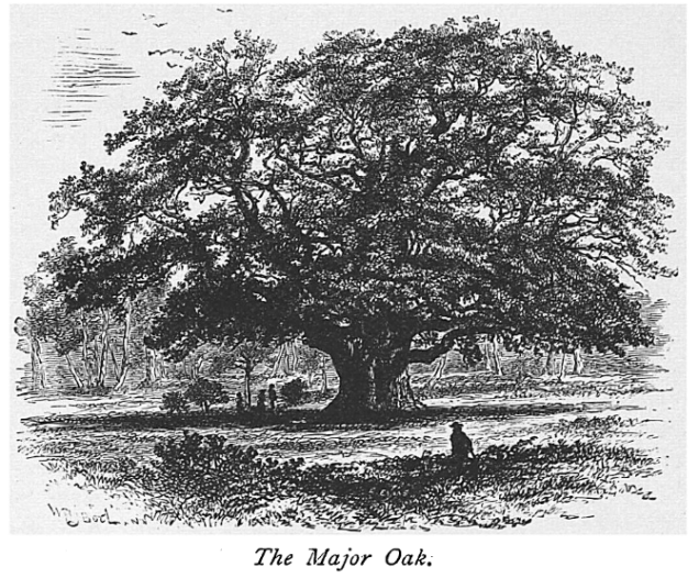 Engraving of the Major Oak from The Art Journal, 1876, before supports were added to the tree's branches