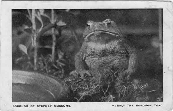 One of the animals, Tom the Borough Toad, that lived at the Nature Study Museum (Image from St George in the East)