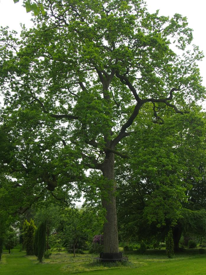 Lingard's oak
